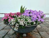 foto of petunia  - Bright petunia flowers in a stone flowerpot - JPG