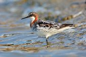 picture of red-necked  - Red - JPG