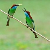 picture of grass bird  - Beautiful colorful bird Couple of Blue - JPG