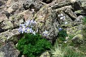 image of colorado high country  - Columbine flowers amidst lichen - JPG