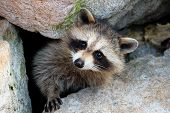 image of sneak  - curious raccoon sneaking out of his burrow - JPG
