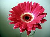 Red-white Gerbera Close Up