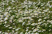 pic of chamomile  - beautiful colors of chamomile and grass in spring