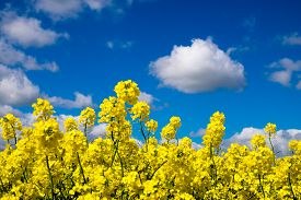 picture of rape-field  - Rape seed field set against the blue cloudy sky. Low position of view looking upwards. ** Note: Visible grain at 100%, best at smaller sizes - JPG