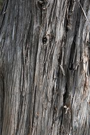 image of juniper-tree  - Close detail and texture of the bark of the Rocky Mountain Juniper  - JPG