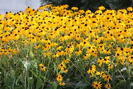 stock photo of black-eyed susans  - Thick blanket of a pretty yellow flower  - JPG