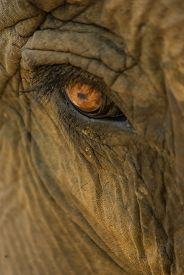 pic of indian elephant  - Extreme closeup of and indian elephant eye - JPG
