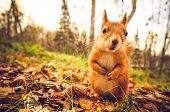 Squirrel red fur funny pets autumn forest on background wild nature animal thematic poster