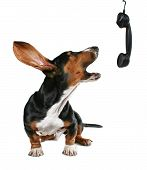 stock photo of mongrel dog  - a basset hound howling on the phone - JPG