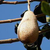 Or Yehuda Kigelia Pinnata Fruit 2010