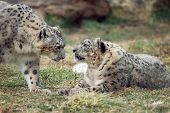 stock photo of panthera uncia  - a pair of endangered snow leopards in a zoo - JPG