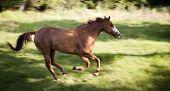 Galloping Horse, Equus Ferus Caballus