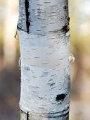 Birch Tree Trunk With High Dof