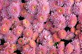 Pink Hardy Garden Mums