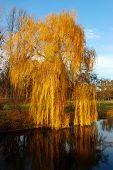 Willow Tree (salix) In A Park In Warm Colors Of Sunset, Olexandria Park, Bila Tserkva, Ukraine