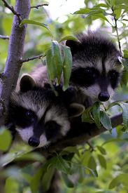 foto of raccoon  - Two baby raccoons playing in a tree - JPG
