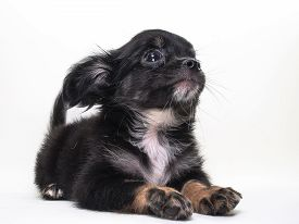 picture of chiwawa  - Cute Puppy long hair Chiwawa with white background - JPG