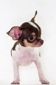 pic of chiwawa  - Cute Puppy long hair Chiwawa with white background - JPG