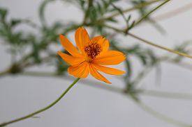 foto of cosmos flowers  - Orange cosmos flowers - JPG