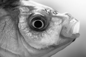stock photo of fresh water fish  - Closeup of one fresh alive river or lake water wet fish head with rounf eye and open mouth outdoor on natural background black and white horizontal picture - JPG