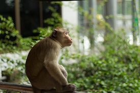 picture of macaque  - Potrait image of monkey  - JPG