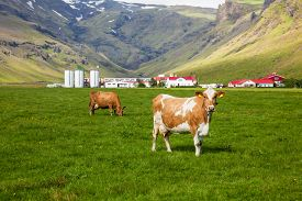 foto of iceland farm  - Brown Holstein cow grazing at pasture in Iceland with dairy farm in background - JPG