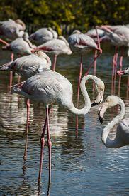 pic of pink flamingos  - Pink big bird Greater Flamingo  - JPG