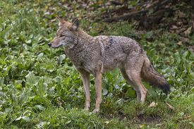 picture of coyote  - A lone coyote in some grass in fall - JPG