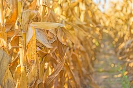 stock photo of corn cob close-up  - Harvest ready corn cob on stalk in cultivated maize field close up with selective focus - JPG