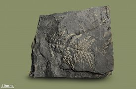 image of paleozoic  - Prints of ancient plants that lived on earth 320 million years ago - JPG