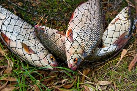 stock photo of fresh water fish  - Freshwater roach fish just taken from the water - JPG