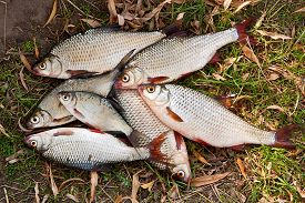 image of fresh water fish  - Freshwater roach fish just taken from the water. Several of roach fish on the withered grass. Catching fish - common bream (Abramis brama) common roach (Rutilus rutilus). ** Note: Soft Focus at 100%, best at smaller sizes - JPG