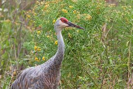 foto of goldenrod  - The head and torso of a sandhill crane peering out of a meadow of prairie grass ironweed and goldenrod - JPG
