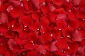 Closeup of bright red rose petals