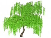 whipping willow isolated on white