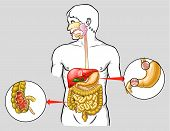 stock photo of anus  - Vector medical illustration of human digestive system - JPG