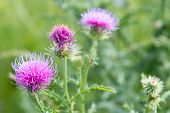 Cirsium Vulgare, Spear Thistle, Bull Thistle, Common Thistle, Short Lived Thistle Plant With Spine T poster