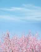 Plum Tree Blue Sky Background