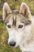 Portrait Of Siberian Husky poster