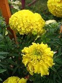 2 Chrysanthemums