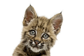 foto of baby animal  - Beautiful baby bobcat face with eyes wide open - JPG