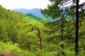 Pine Trees Besides Oak Trees Taken At A Temperate Forest On Mountainous Terrain In Rural Washington  poster