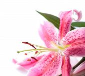 image of stargazer-lilies  - Pink stargazer lily in the corner of the frame against a white background - JPG