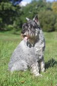 Schnauzer Sits On Green Grass