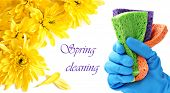 Spring cleaning concept.  Gloved hand with colorful sponges on white background with yellow mums and