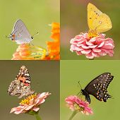 Collage of four butterflies with tiny Gray Hairstreak, Orange Sulphur, Painted Lady and a Black Swallowtail, on light and dark green backgrounds