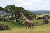 African Landscape With Giraffe