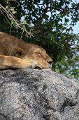 Lion On Rock At Simba Kopjes