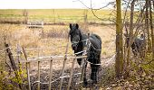 picture of lame  - Skinny Horse outside in fenced yard area with ribs showing - JPG