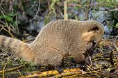 Ring-tailed Coati eating a turtle